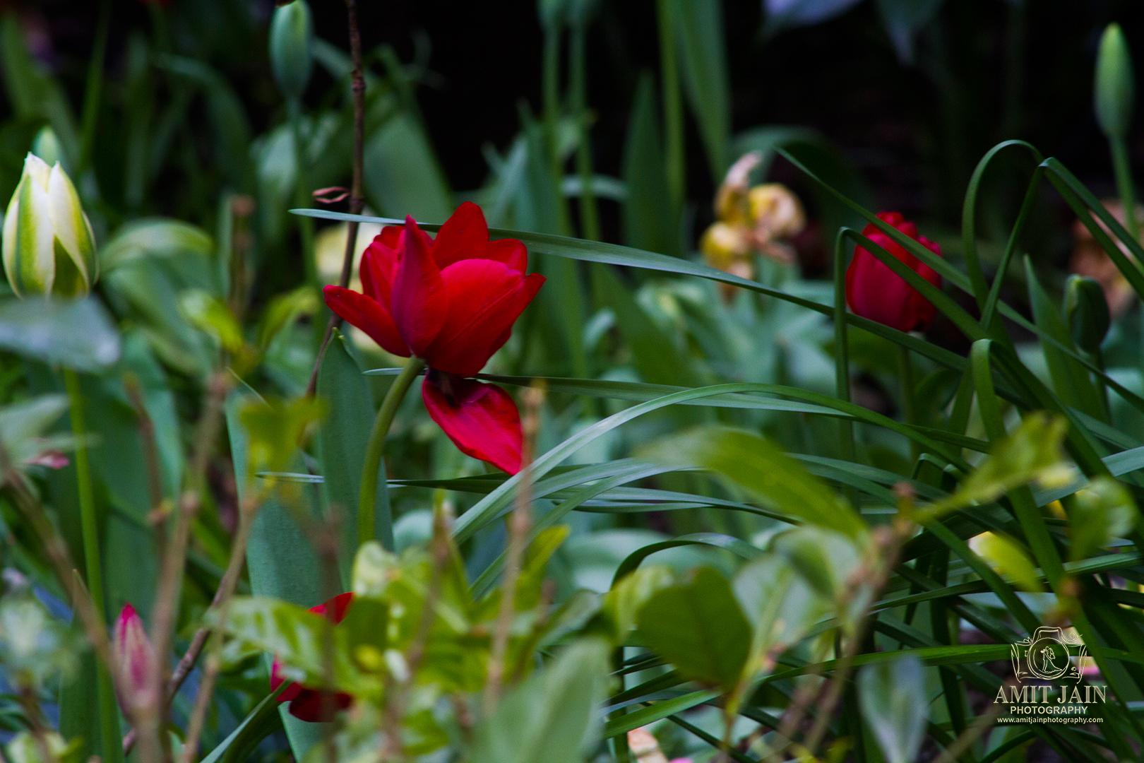 Tulips-Stock-photos-Auckland (36)