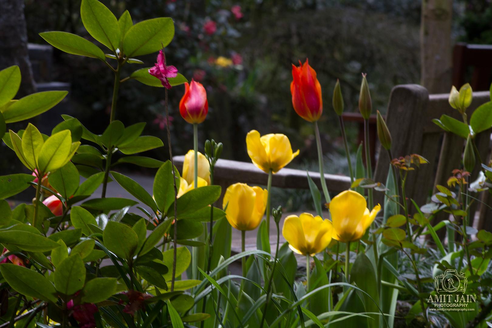 Tulips-Stock-photos-Auckland (40)