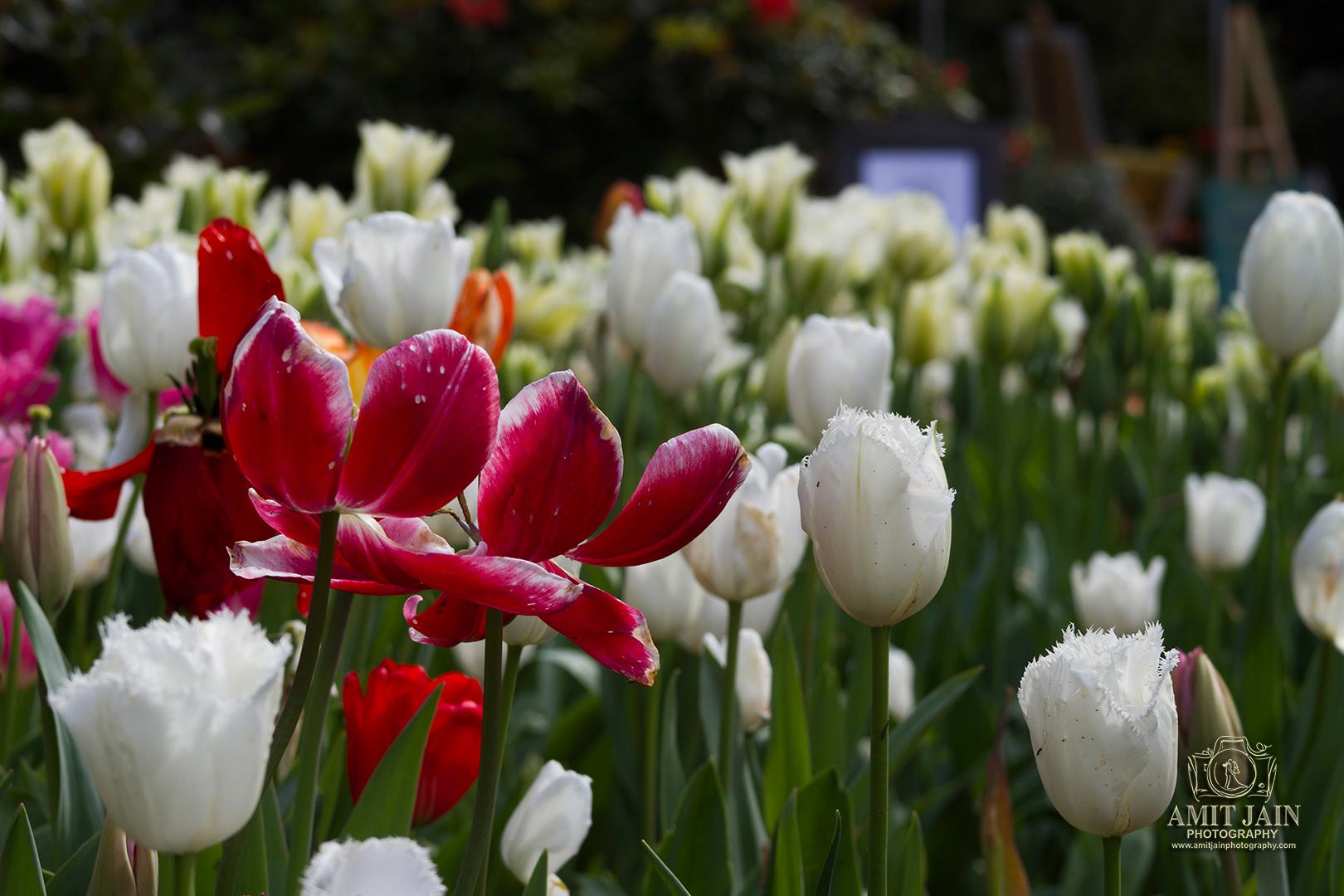 Spring Tulips In Full Bloom Stock Photo - Image of