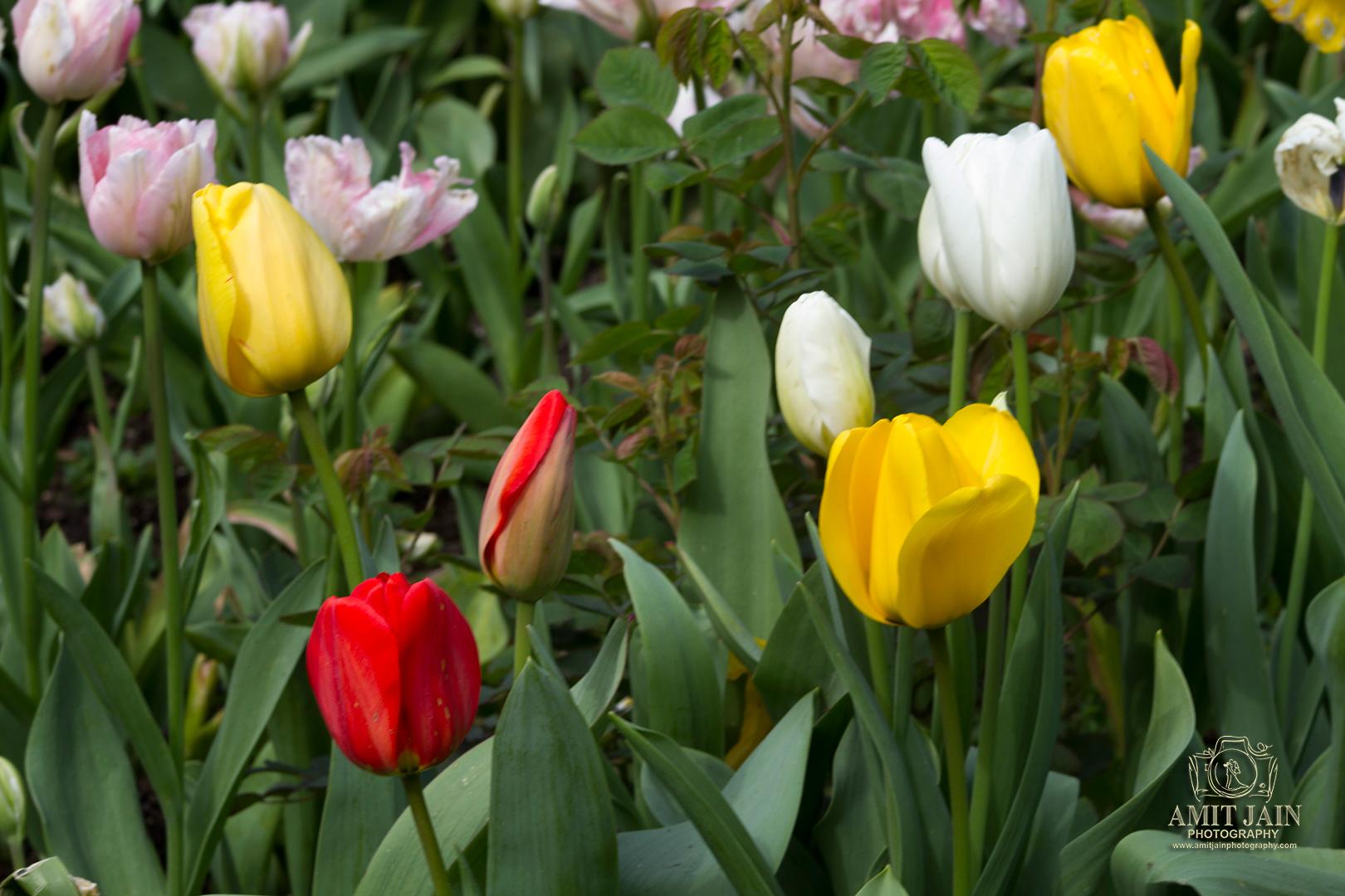 Tulip Festival - Full Bloom Tulips - Eden Garden